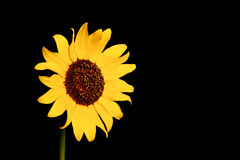 Wild Sunflower Stock Photography