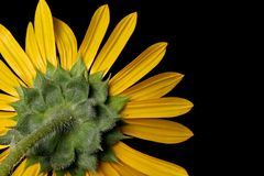 Wild Sunflower Royalty Free Stock Photo