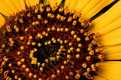 Wild Sunflower Stock Images