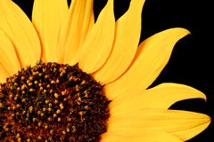 Wild Sunflower Royalty Free Stock Image