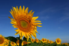 Wild sunflower Stock Photos