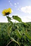 Wild Sunflower Royalty Free Stock Image