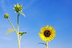 Wild sunflower against blue sky. Background Stock Photography
