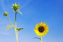 Wild sunflower against blue sky Stock Photography