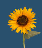 Wild Sunflower against clear blue sky Stock Images