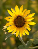 Wild Sunflower backlit Royalty Free Stock Photos