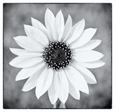 Wild sunflower in black and white Royalty Free Stock Photos