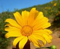 Wild sunflower blooming Stock Image