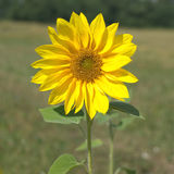 Wild sunflower blossom closeup Stock Images