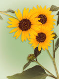 Wild sunflower blossoms on vintage green Royalty Free Stock Images