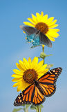 Wild sunflower with butterflies Stock Photo