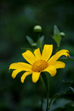 Wild sunflower Royalty Free Stock Images