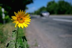 Wild sunflower grows at the edge of the road royalty free stock image