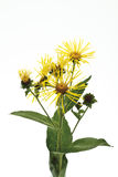 Wild sunflower (Inula helenium L.) Stock Image