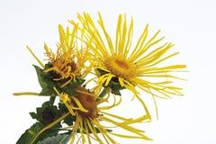 Wild sunflower (Inula helenium L.) Stock Photography