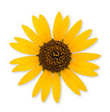 Wild sunflower isolated Stock Photography