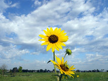 Wild Sunflower Landscape. Wild 3D like sunflowers against vast blue and cloudy sky Royalty Free Stock Photography