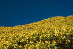 Wild-sunflower on mountain Stock Photography