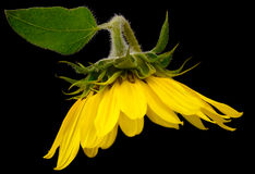 Wild Sunflower Stock Photo