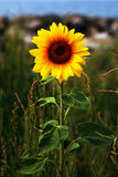 Wild sunflower near the coast Stock Photography