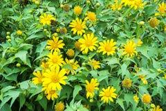 Wild sunflower Stock Photography