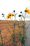 Wild Sunflowers along the highway stock photos