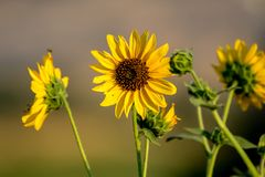 Wild sunflowers in a meadow on a brite autumn day. Macro shot of wild sunflowers in a meadow on a brite autumn day with a blurred background royalty free stock image