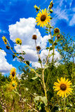 Wild Sunflowers in Oklahoma Stock Photography