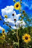 Wild Sunflowers in Oklahoma. Wild Sunflowers Helianthus Growing Wild in an Oklahoma Field Full of a Variety of Other Wildflowers Stock Image