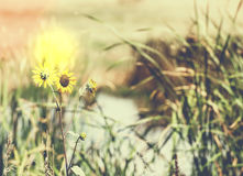 Free Wild Sunflowers On The Edge Of A Marsh Rural America Royalty Free Stock Photos - 59224988