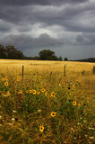 Wild sunflowers in storm Royalty Free Stock Photography