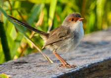 Wild Superb fairy wren female Stock Photos