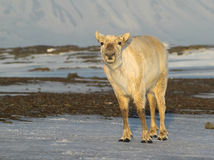 Wild Svalbard reindeer portrait Stock Photos
