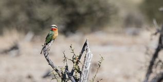 Wild Swallow-tailed Bee-eater (Merops hirundineus) stock photos