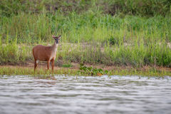 Wild swamp deer female close up in the nature habitat Royalty Free Stock Image