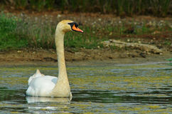 Wild swan. Rest in the marsh in summer Stock Photo