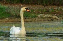 Wild swan Stock Photo