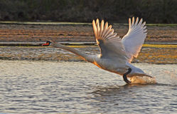 Wild swan. Fly away on the lake surface Royalty Free Stock Photo
