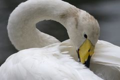 A wild Swan. Provides her plumage, Netherlands Royalty Free Stock Photography