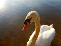 wild swan Arkivbilder