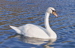 Wild Swan beautiful Royalty Free Stock Photography