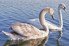 Wild Swan couple Stock Images