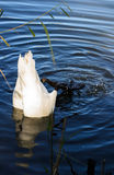 Wild swan diving Stock Photo