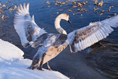 Wild swan Royalty Free Stock Images