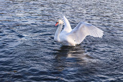 Wild swan Royalty Free Stock Photo