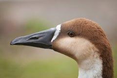 Wild swan goose Stock Photos