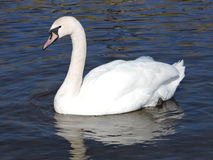Wild swan. Stock Photo