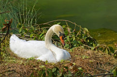 Wild swan on the nest Stock Image