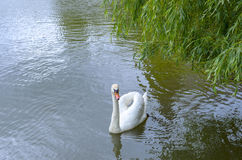 Wild swan on a pond. Royalty Free Stock Photo