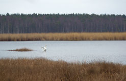 Wild swan in the Slokas lake Stock Photo